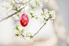 Easter traditional egg hanging on bough with spring cherry blossom. In sunlight Royalty Free Stock Images