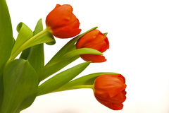 Easter tulips Royalty Free Stock Images