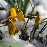Easter Tulips Emerging Through Fresh Spring Snow royalty free stock photos