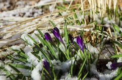 Easter Tulips Emerging Through Fresh Spring Snow stock photos