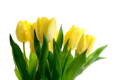 Easter Tulips II. Studio macro of yellow tulips (Tulipa gesneriana) against a white background. Copy space royalty free stock images
