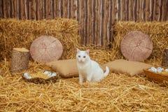 Easter Turkish Angora cat Stock Photos