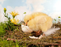 Easter twins. Two easter chick babies and flowers on a nest Royalty Free Stock Photography