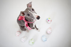 Easter whippet Stock Photography