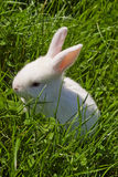 Easter white bunny Royalty Free Stock Photography