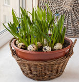 Easter window decoration with growing muscari and fritillaria in Stock Photography