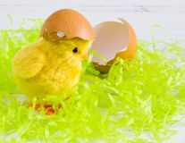 Easter -  Yellow chick with egg shell on white wood background Stock Photos