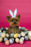 Easter Yorkshire terrier dog. Yorkshire terrier dog wearing easter bunny ears Stock Images