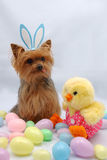 Easter Yorkshire terrier dog. Yorkshire terrier dog wearing easter bunny ears Royalty Free Stock Photography