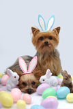 Easter Yorkshire terrier dogs. Yorkshire terrier dogs wearing easter bunny ears Stock Photos