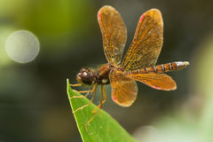 Eastern Amberwing Dragonfly Stock Images
