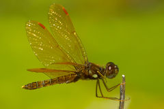 Eastern Amberwing Dragonfly Royalty Free Stock Images