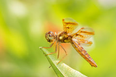 Eastern Amberwing dragonfly Royalty Free Stock Photos