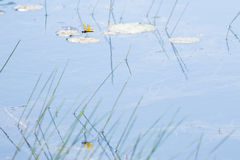 Eastern Amberwing Dragonfly's Flight over Pond Reflected Stock Image