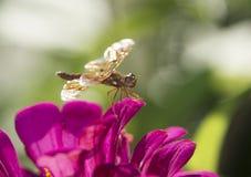 Eastern amberwing ,Perithemis tenera Royalty Free Stock Photography