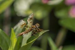 Eastern amberwing ,Perithemis tenera Stock Photos