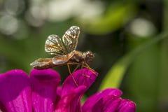 Eastern amberwing ,Perithemis tenera Royalty Free Stock Image