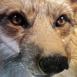 Eastern American red fox stock photos
