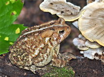 Eastern American Toad (Bufo americanus) Stock Photo