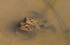 Eastern American Toad Royalty Free Stock Images