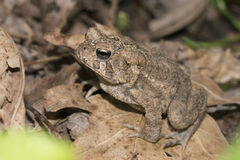Eastern American Toad Stock Photography