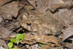 Eastern American Toad Royalty Free Stock Image