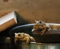 Eastern American Toad (Bufo americanus) Stock Image