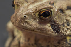 Eastern American Toad Royalty Free Stock Photos