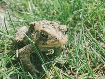 An eastern american toad Royalty Free Stock Images