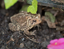 Eastern American Toad in Garden with Focus on Eye Royalty Free Stock Photos