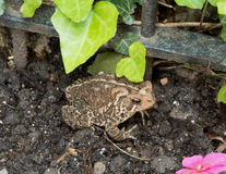 Eastern American Toad in the Garden Royalty Free Stock Photos