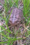 Eastern American Toad. The Eastern American Toad is a medium sized toad. Their color and pattern vary, especially for females. Color changes from yellow to brown royalty free stock photos