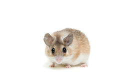 Eastern or arabian spiny mouse, Acomys dimidiatus Stock Images