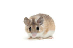 Eastern or arabian spiny mouse, Acomys dimidiatus Royalty Free Stock Images