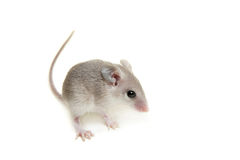 Eastern or arabian spiny mouse baby on white. Eastern or arabian spiny mouse baby, Acomys dimidiatus, on white Royalty Free Stock Images