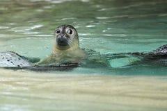 Eastern Atlantic harbour seal Royalty Free Stock Image