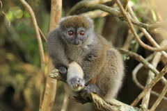 Eastern bamboo lemur Royalty Free Stock Image