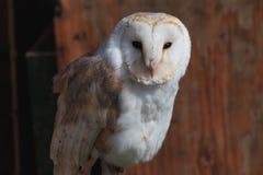 Eastern barn owl in brown orange wood background. Spain summer time royalty free stock images