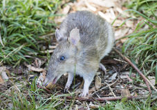 Eastern Barred Bandicoot. In Tasmania, Australia stock photo