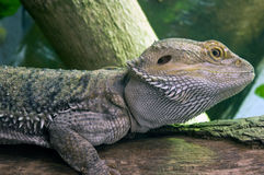 Eastern Bearded Dragon Royalty Free Stock Image