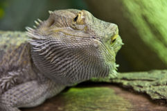 Eastern Bearded Dragon Royalty Free Stock Photos