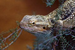 Eastern Bearded Dragon Stock Photos