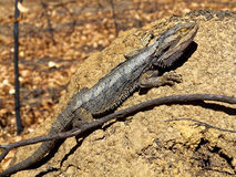 Eastern Bearded Dragon lizard basking Stock Images