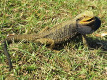Eastern Bearded Dragon Lizard In Grass Royalty Free Stock Photo