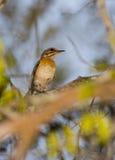 Eastern Bearded Scrub Robin. An Eastern Bearded Scrub Robin - Cercotrichas quadrivirgata - appears in the magic penumbra of the Arabuko Sokoke Forest, the last Stock Photos