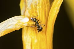 Eastern black carpenter ant working on a yellow flower, Connecti. Eastern black carpenter ant, Camponotus pennsylvanicus, on a yellow flower at the Belding Royalty Free Stock Image