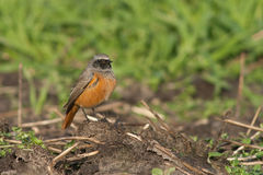 Eastern Black Redstart. This Eastern Black Redstart is resting on a branch on a field Stock Photo
