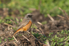 Eastern Black Redstart. This Eastern Black Redstart is resting on a branch on a field Royalty Free Stock Images