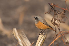 Eastern Black Redstart. This Eastern Black Redstart is resting on a branch on a field Royalty Free Stock Photo
