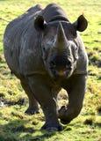 Eastern Black Rhino. Portrait of an Eastern Black Rhino (Diceros bicornis michaeli Stock Image